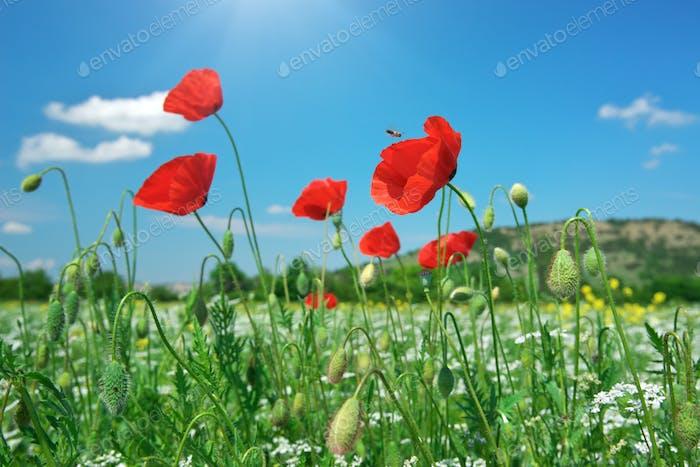 In poppies field. In poppies field.
