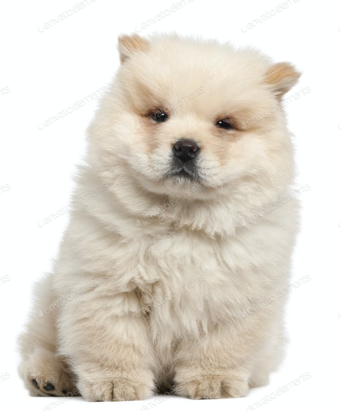 Chow chow puppy, 11 weeks old, sitting in front of white background