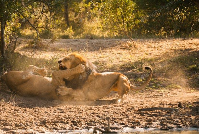 Löwen kämpfen