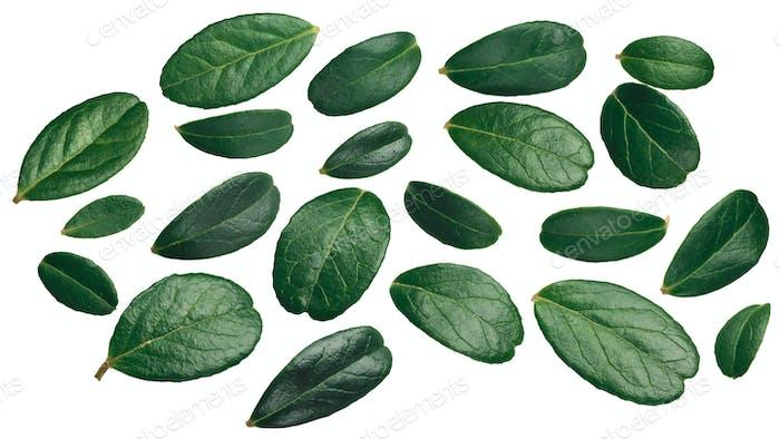 Lingonberry vaccinium vitis-idaea leaves, top