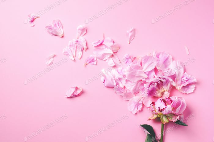 Beautiful peony flower with pink petals on pink background. Top view. Flat lay. Copy space