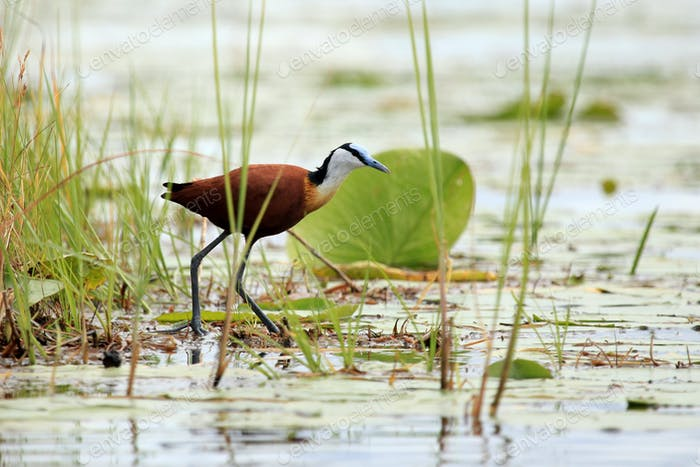 Wildtiere - Bisina Feuchtgebiete - Uganda, Afrika