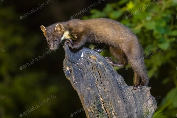 Pine marten on trunk in forest at night
