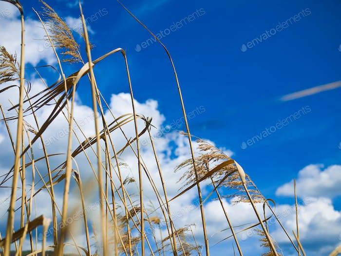 Dry grass over blue sky