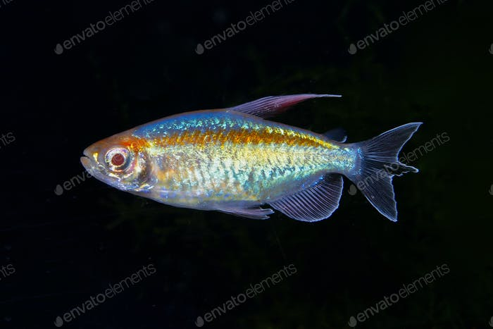 Portrait of aquarium fish - Congo tetra (Phenacogrammus interruptus) on black background
