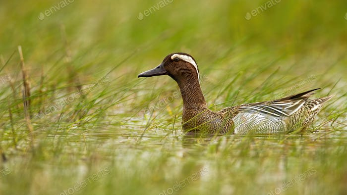 Garganey swimming in swamp in summertime nature