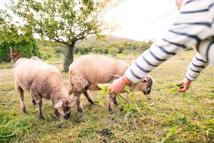 Small girl feeding sheep on the farm.
