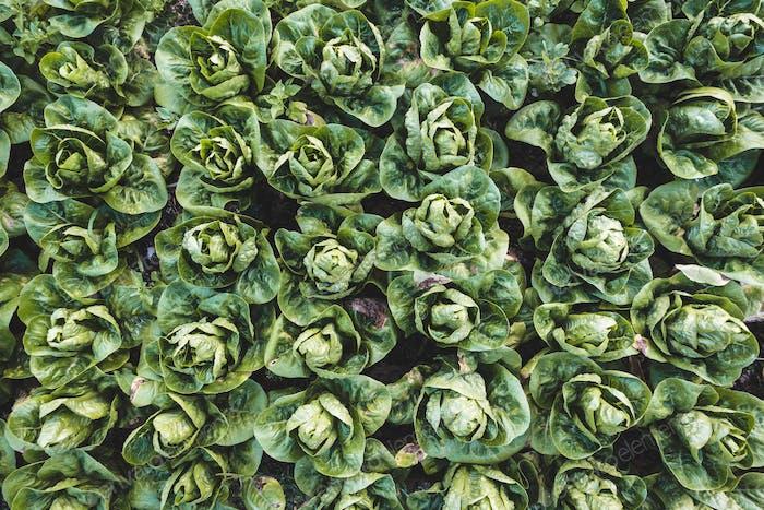 Organic romaine lettuce field