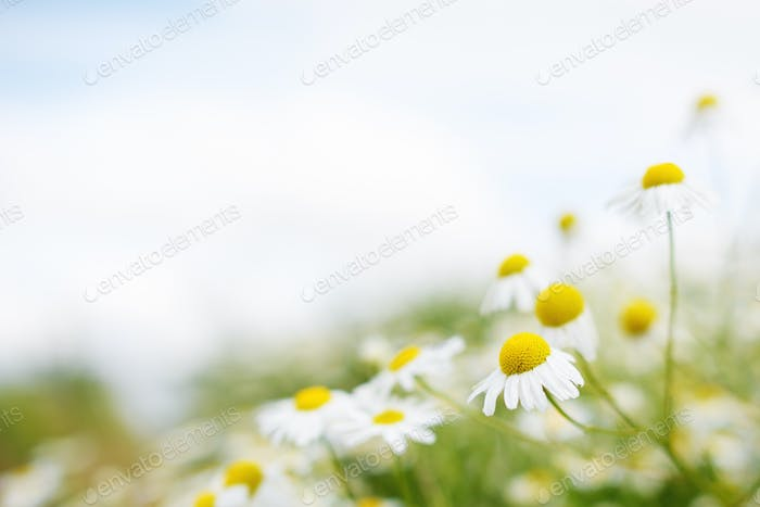 Chamomile flowers. Soft focus