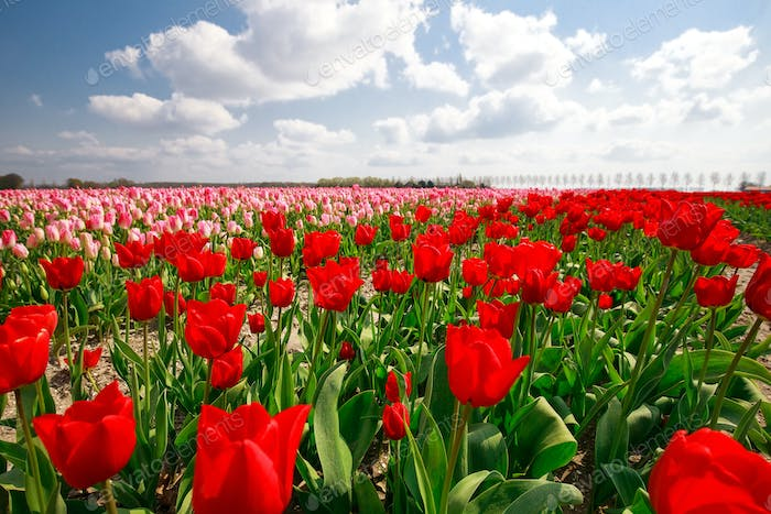 pink, red tulip field and blue sky