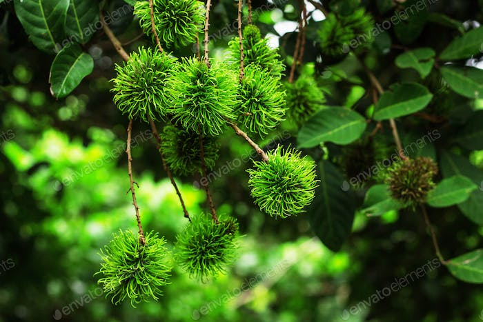 rambutan on tree