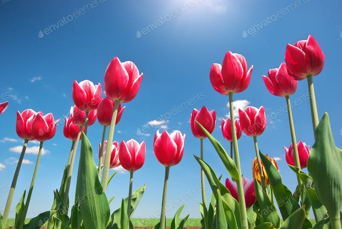 Tulips on blue sky.