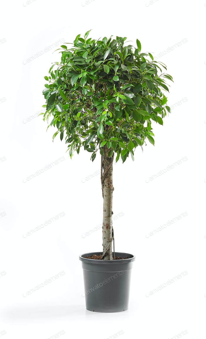 Ficus tree on a white background