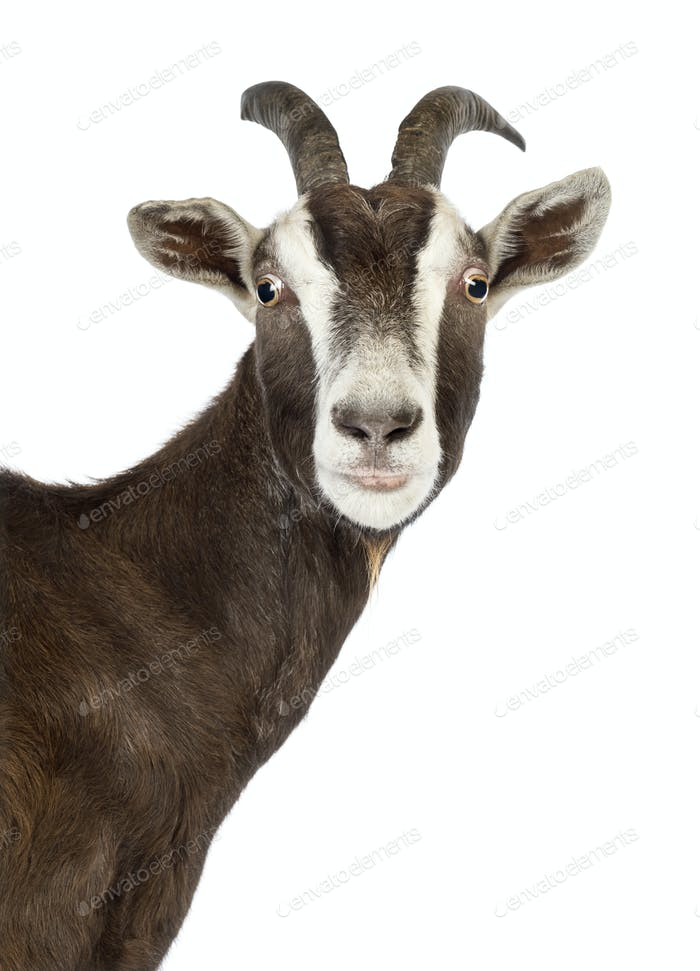 Close-up of a Toggenburg goat looking at camera against white background