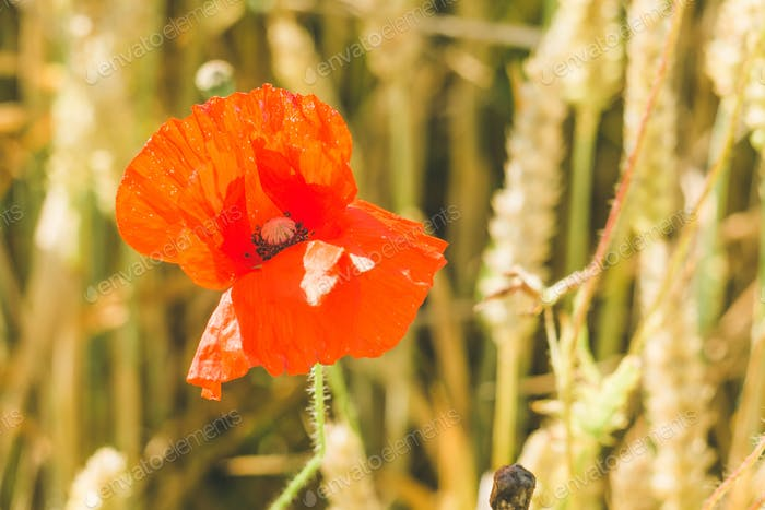 Flower of red poppy on the ripe wheat field