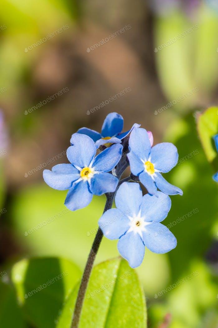Myosotis alpestris or  Alpine forget me not flowers flowers
