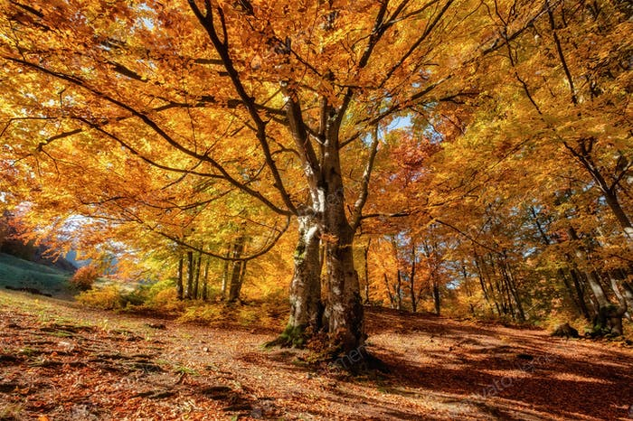 Fall forest and sun as a background. Natural fall landscape in the forest.