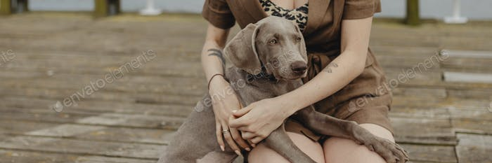 Cute Weimaraner dog sitting on owner's laps