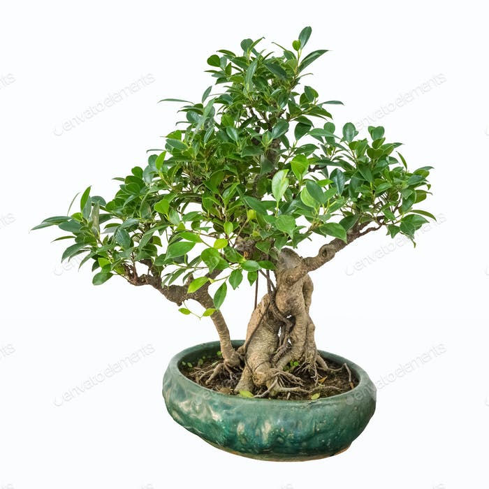 banyan bonsai tree