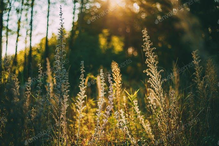 Sommer wilde Pflanzen Auf Wiese Mit hellem Sonnenlicht.
