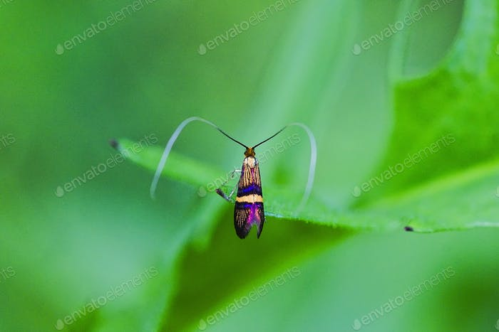 Longhorn moth (Adela degeerella) on a green leaf