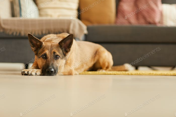 German shepherd lying on the floor
