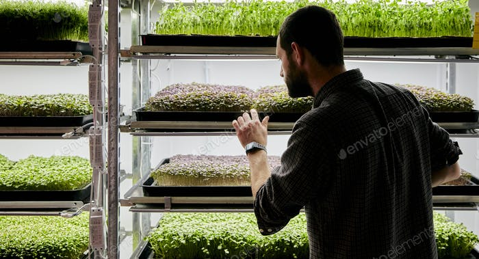 Man tending trays of micrgreen seedlings growing in urban farm