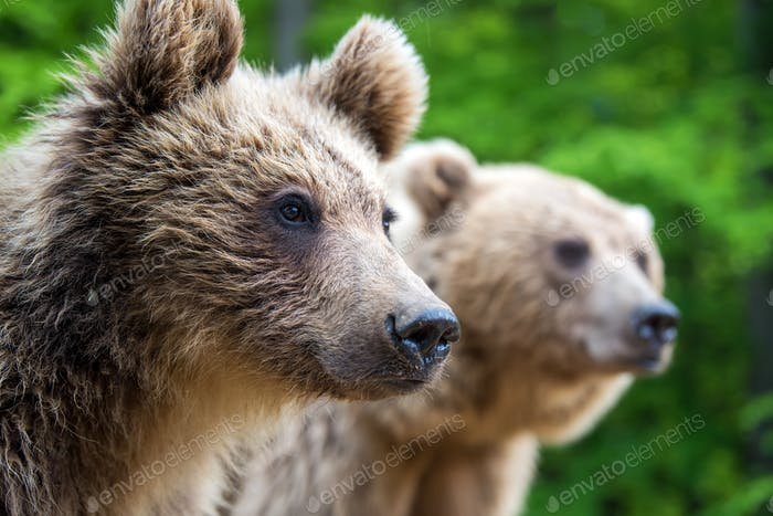 Brown mother bear protecting her cub in a forest