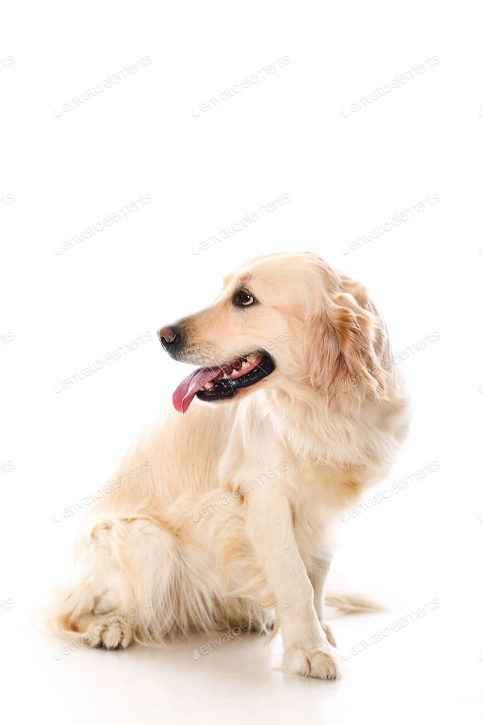 Cute golden retriever