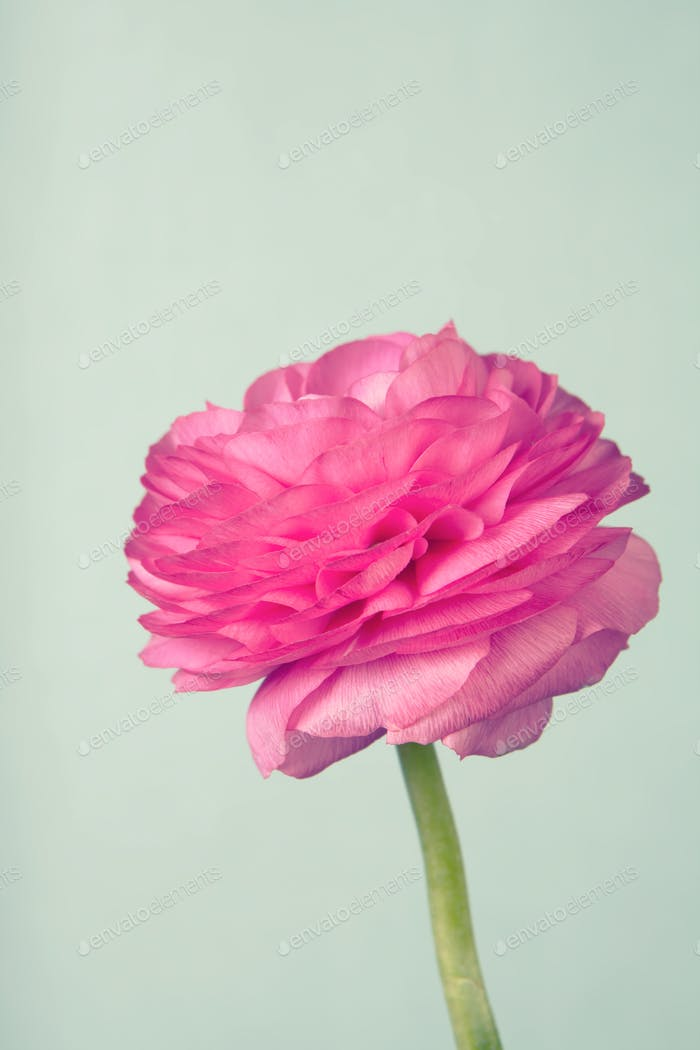 Single pink ranunculus on vintage blue background