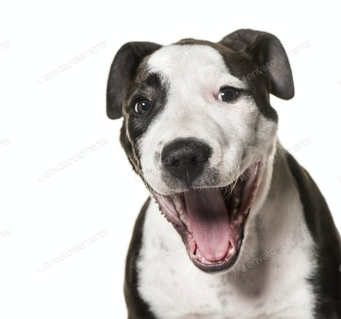 American Staffordshire Terrier puppy, 3 months old, against white background