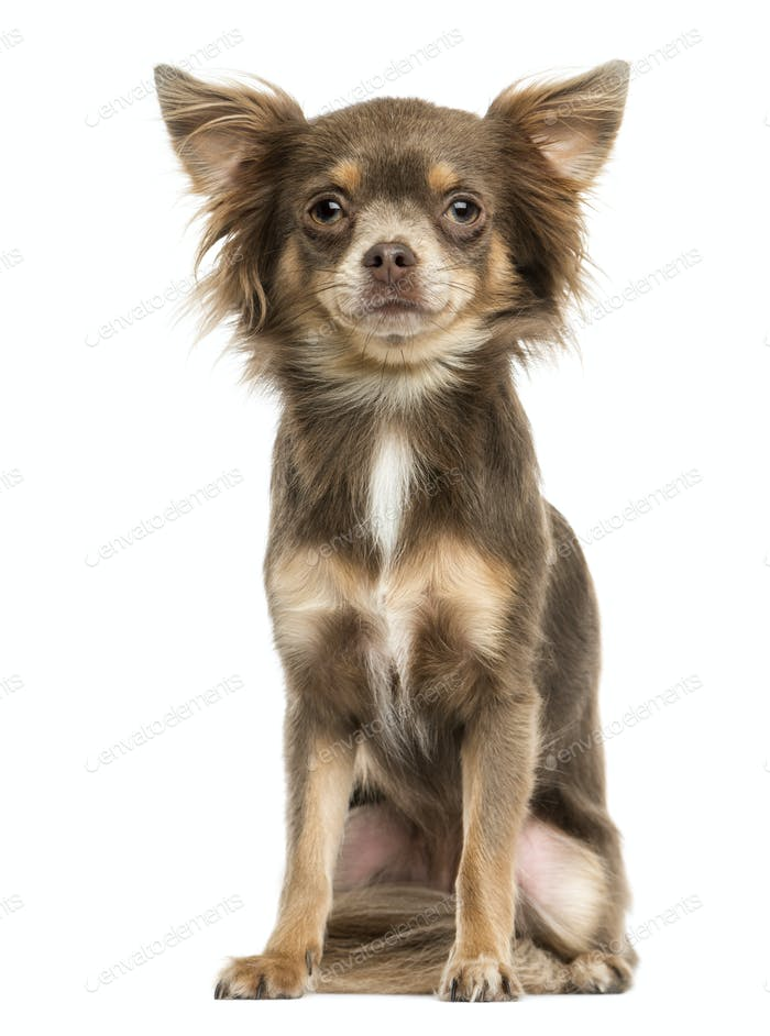 Front view of a Chihuahua sitting, 2 years old, isolated on white