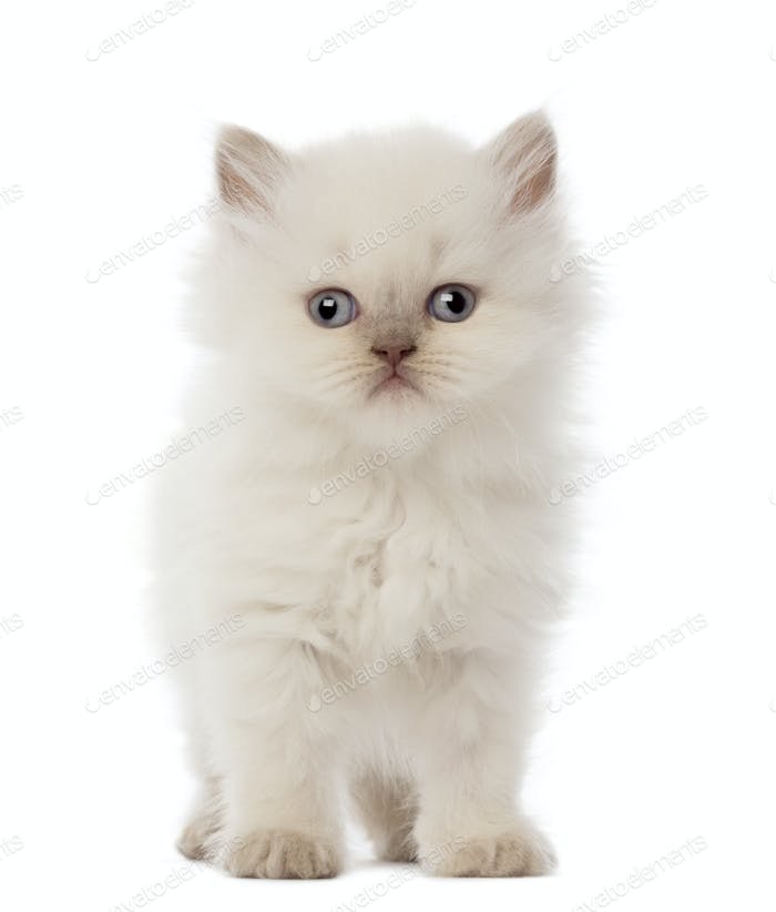 Portrait of British Longhair Kitten, 5 weeks old, against white background