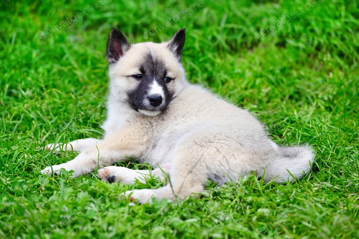 A beautiful Siberian Laika puppy lying down on the grass
