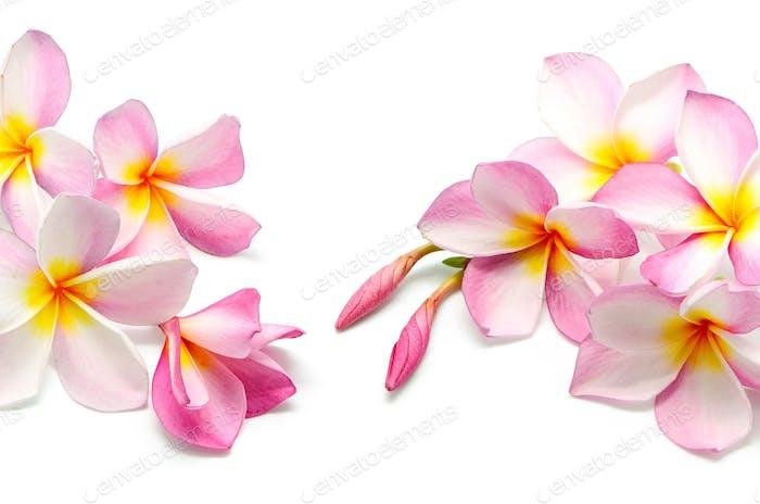 rosa Plumeria