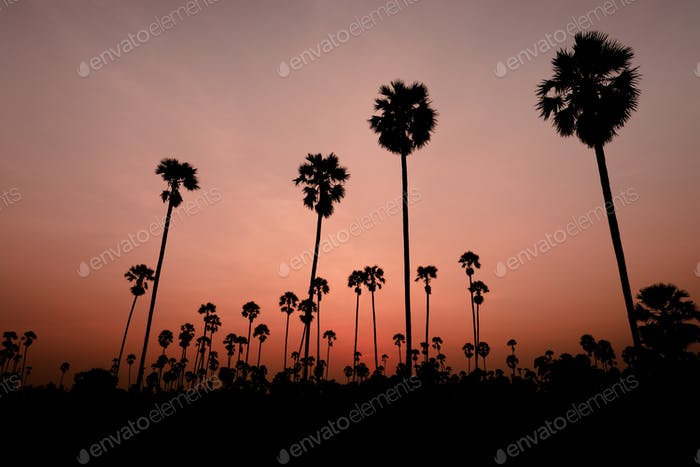 sunset with coconut tree