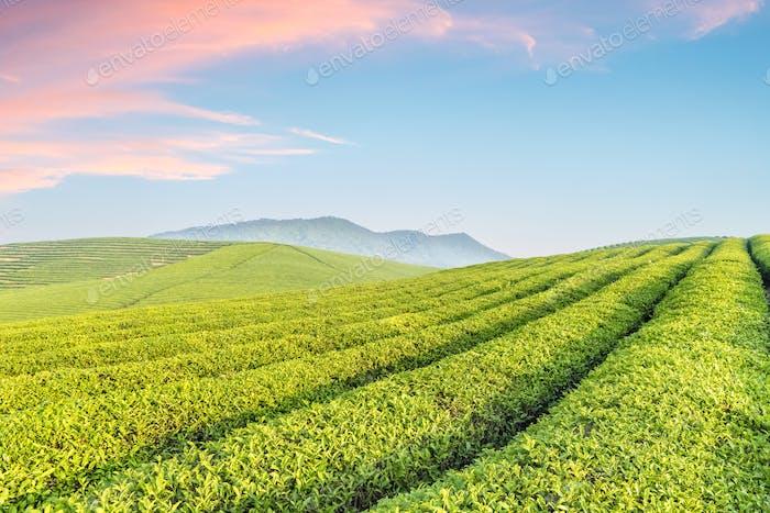 Teeplantage mit Sonnenaufgang Himmel