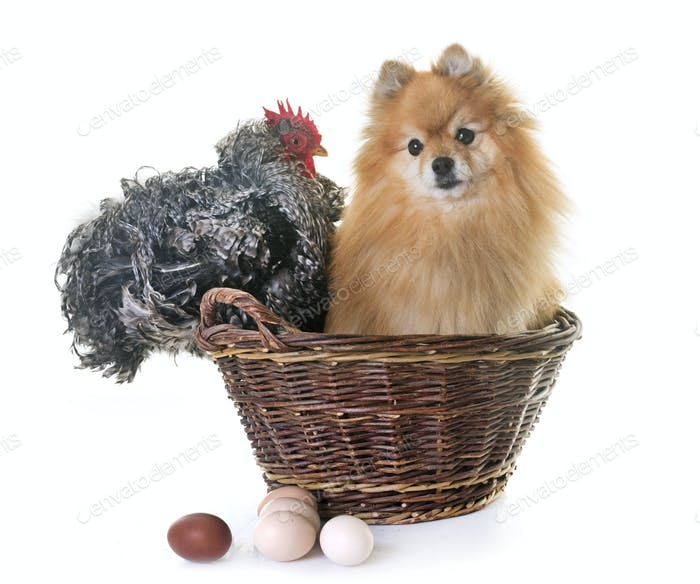 pomeranian spitz and chicken