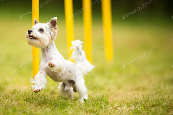 Cute little dog doing agility drill - running slalom