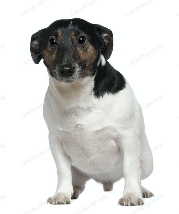 Jack Russell Terrier, 2 and a half years old, sitting in front of white background