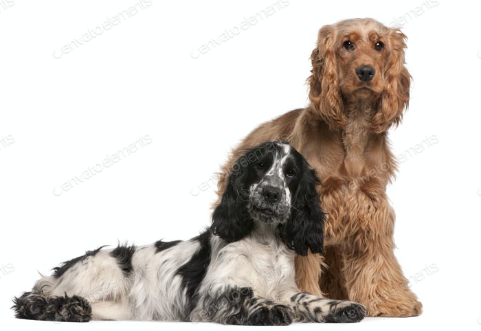 Two English Cocker Spaniels, 2 years old, in front of white background