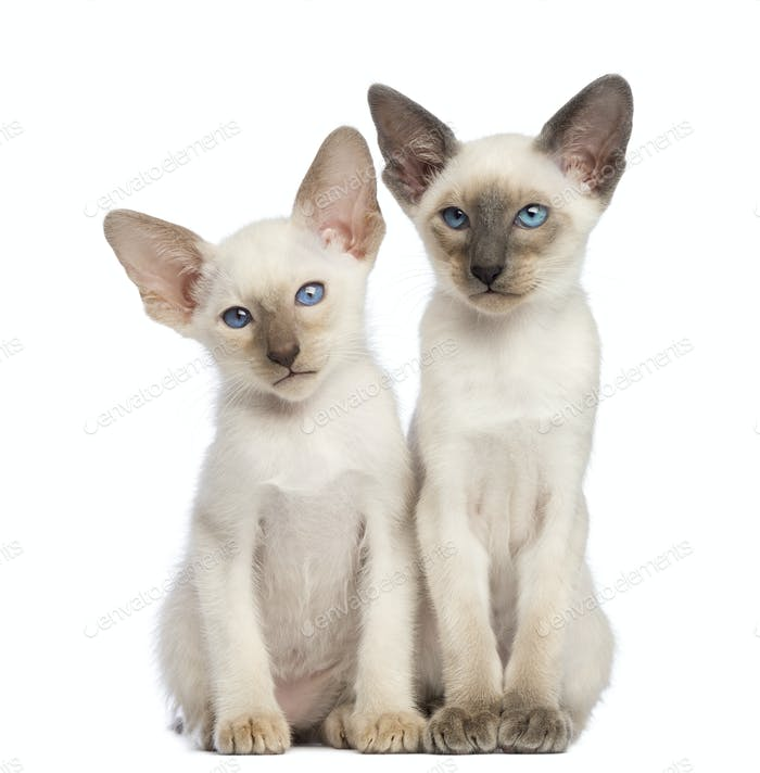 Two Oriental Shorthair kittens, 9 weeks old, sitting and looking away against white background