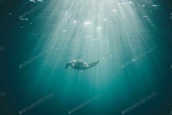 Underwater world. Turtle under water in the back light in Mexico.
