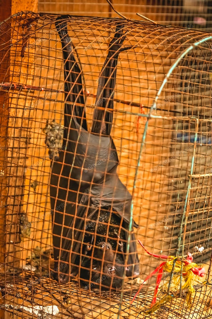 Small black bat in a cage for sale
