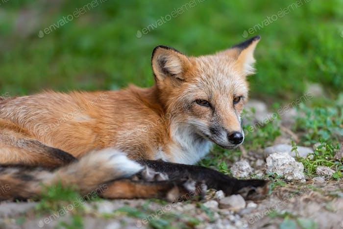 Porträt eines roten Fuchs (Vulpes vulpes)
