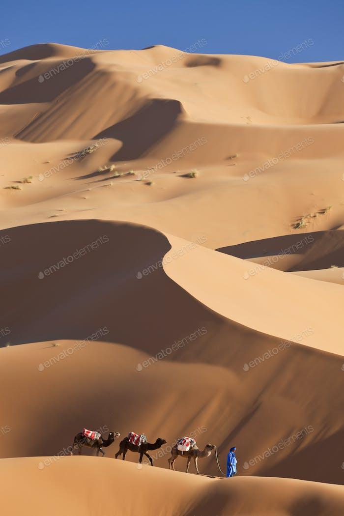 Tuareg man leading camel train through the Sahara desert.