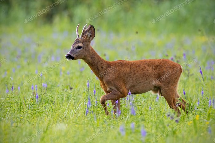 Roe deer, capreolus capreolus, buck in summer on a meadow full of flowers