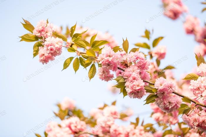 Beautiful sakura flower