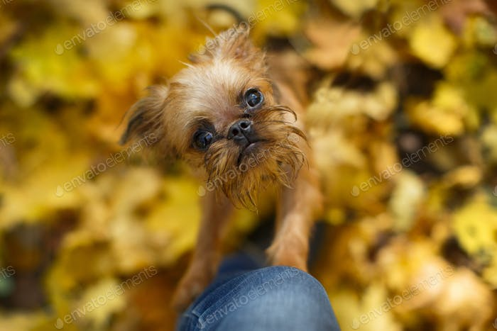 Brussels Griffon puppy for a walk