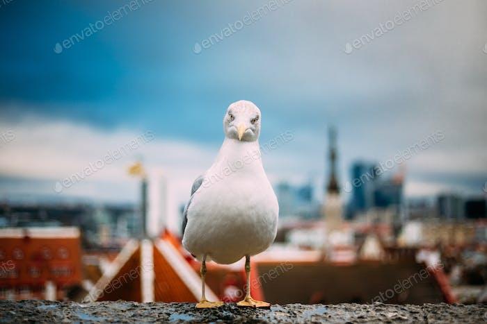 Tallinn, Estonia. White Seagull On Viewing Platform On Backgroun